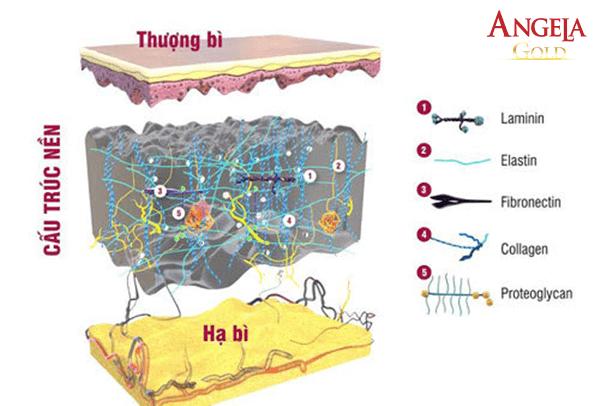 cấu trúc nền của da